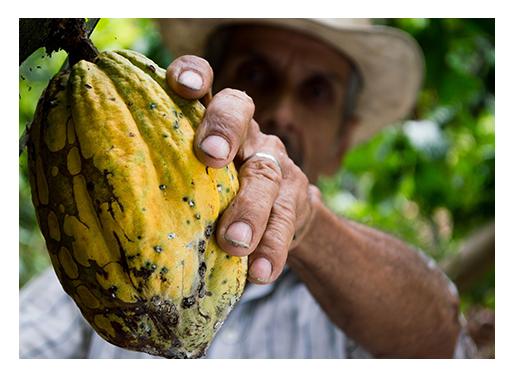 UTZ gecertificeerde cacao